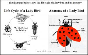 IELTS Lady Bird Diagram